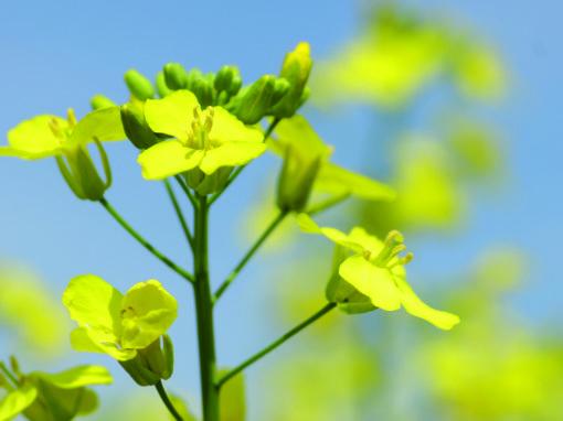 Fertilisation minérale et organique du canola intégrant l'utilisation d'engrais verts