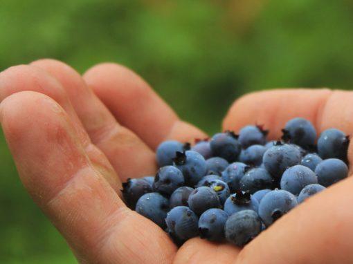 La drosophile à ailes tachetées en production de bleuet au Saguenay–Lac-Saint-Jean: mise en place d'une stratégie de lutte intégrée visant à minimiser son impact