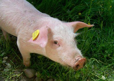 Cahier de charge pour un porc nordique