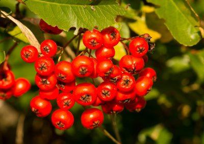 AEC Vergers fruitiers nordiques