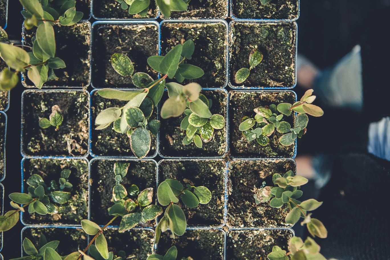 Plants de camerisiers